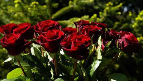 red-rose-flowers