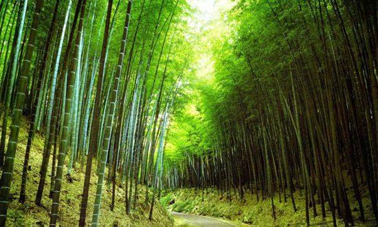 62150_Papel-de-Parede-Floresta-de-Bambus_800x600