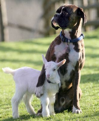 Billy-Boxer-and-Lily-Goat_0