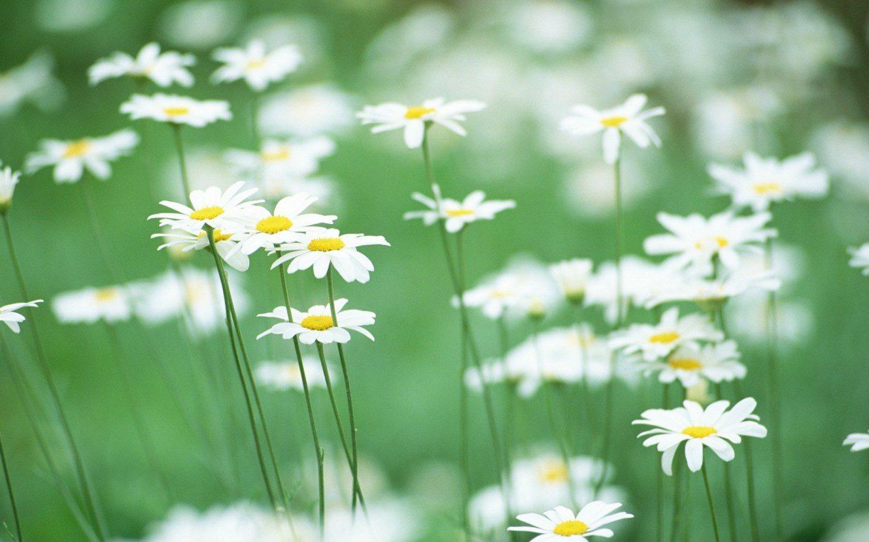 Flores de camomila Verdes Ternura Golf