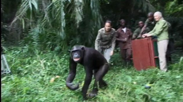 chimpanze3