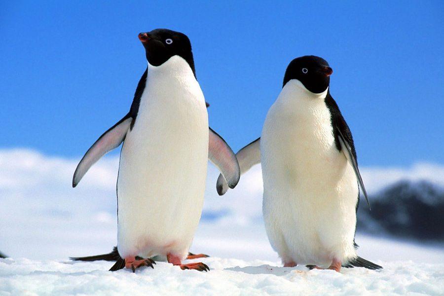 cr casal de pinguins 01