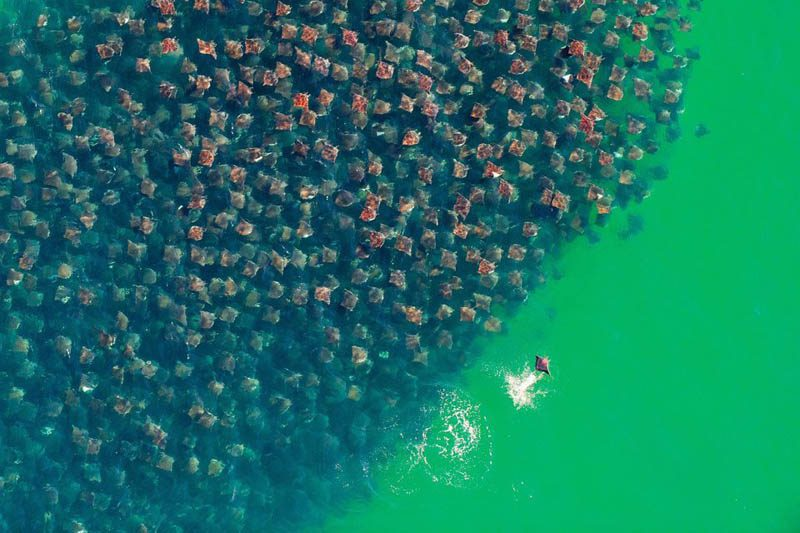 flight-of-the-devil-rays-huge-school-group-aerial-from-above