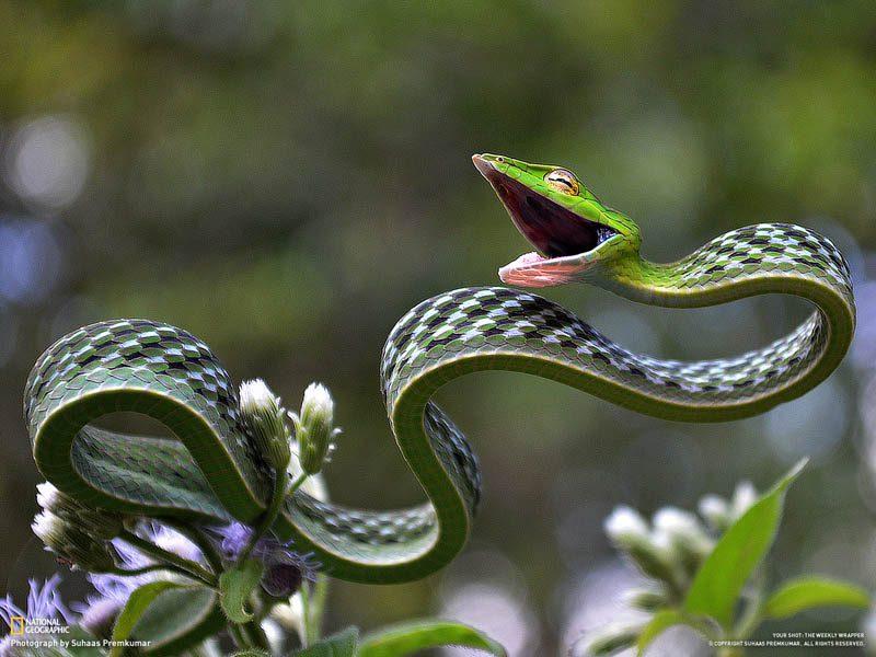 green-vine-snake1