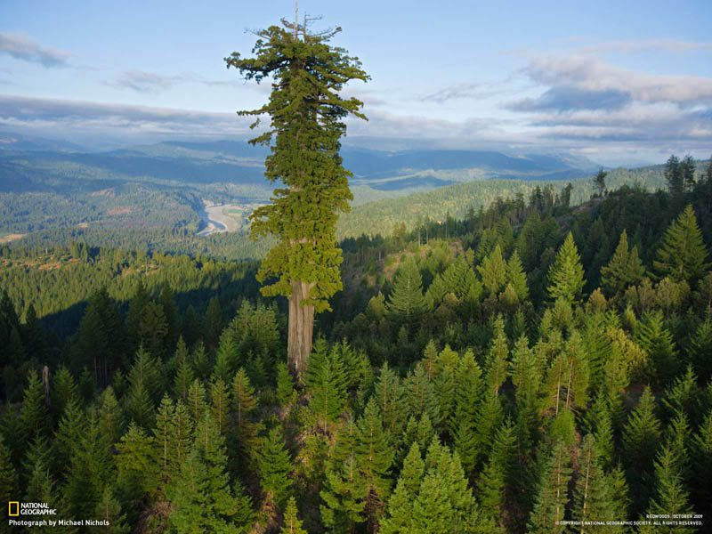 old-growth-redwood-above-younger-growth-redwoods-above-the-canopy