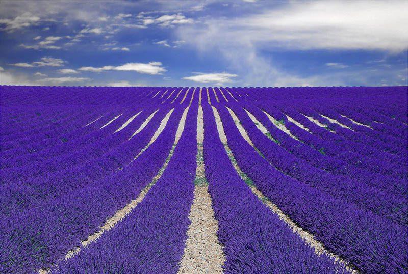 purple-lavender-field-provence-france