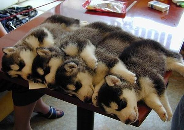 Cuddling-Huskies