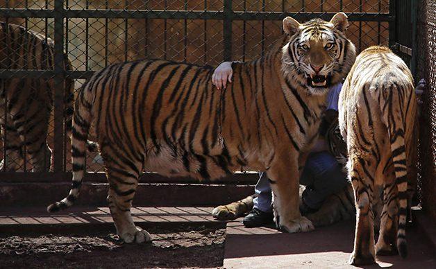 TigerFamily9
