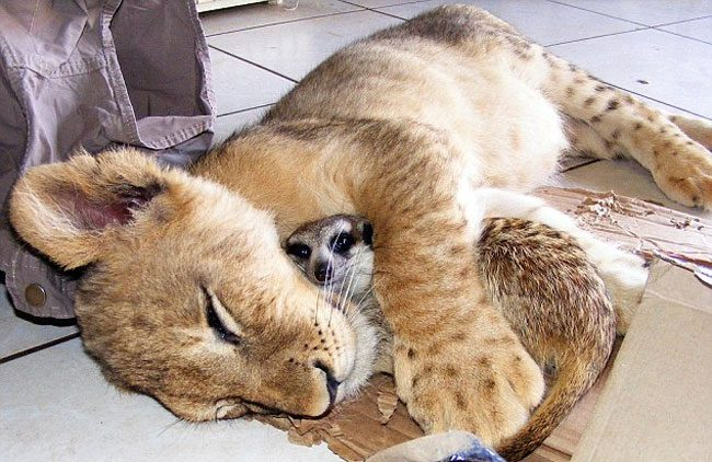 loving-animals-using-each-other-as-pillows-my-heart-has-melted-completely-2