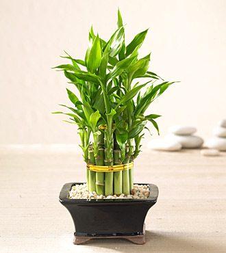 bambuSorte2