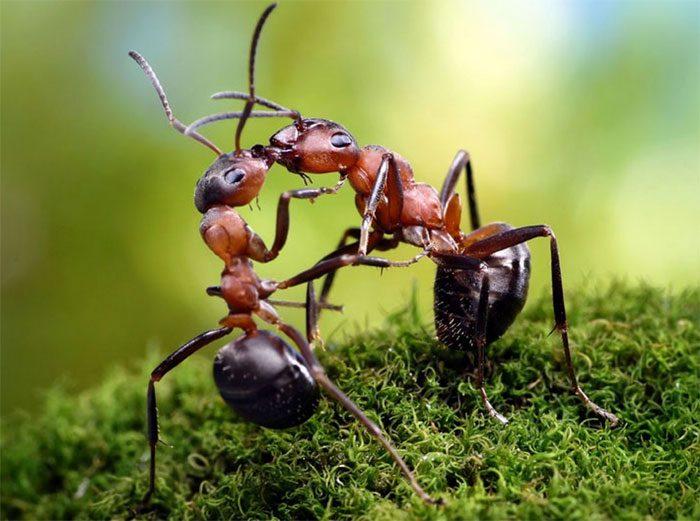 formigas-pavlov-16