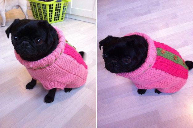 Cachorrinho em um suéter muito pequeno e confortável.