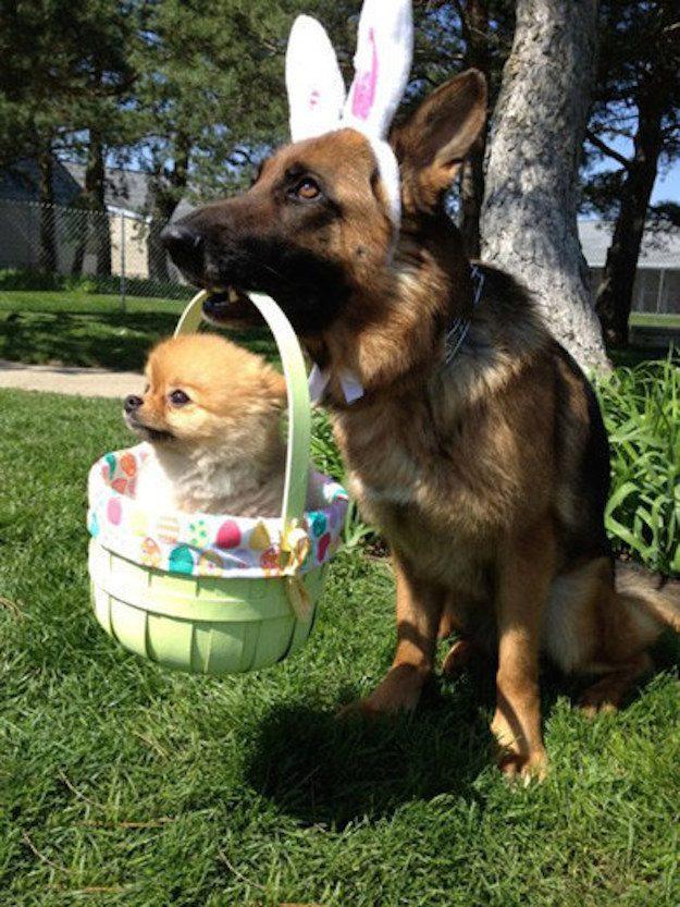 Cachorro, com orelhas de coelho, carregando um cãozinho dentro de uma cestinha.