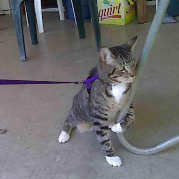 O gato que disse sim à coleira, mas mudou de ideia no meio do passeio.
