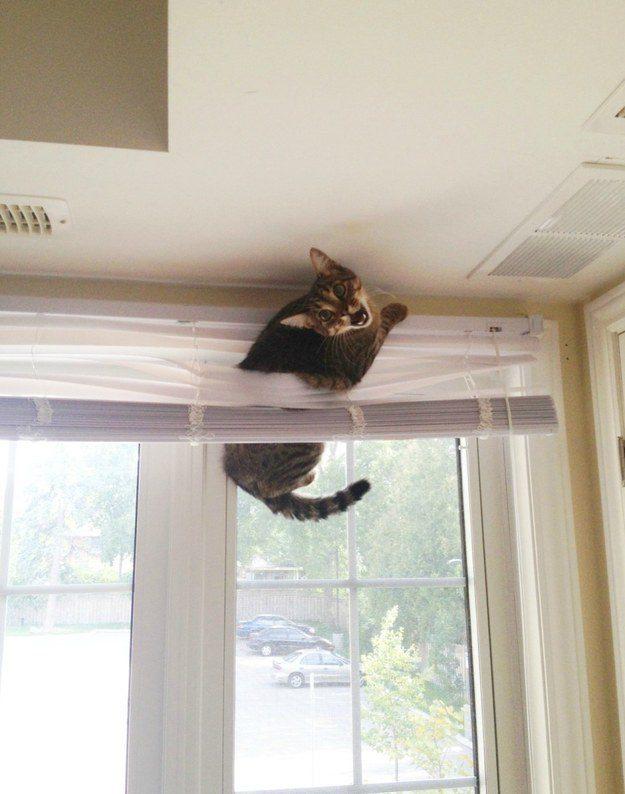 O gato cujo relacionamento de amor e ódio com sua persiana será sua ruína.