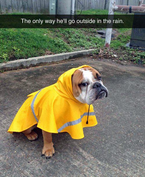 Cachorro que se recusa a sair na chuva sem a sua linda capa de chuva.
