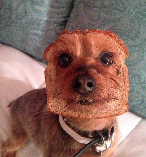 Cachorro que também é um pedaço de pão integral.