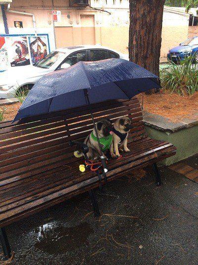 Casal de cães esperando pacientemente sob um guarda-chuva na chuva.