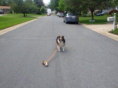Cachorro sendo levado para passear por um porquinho-da-índia muito querido.
