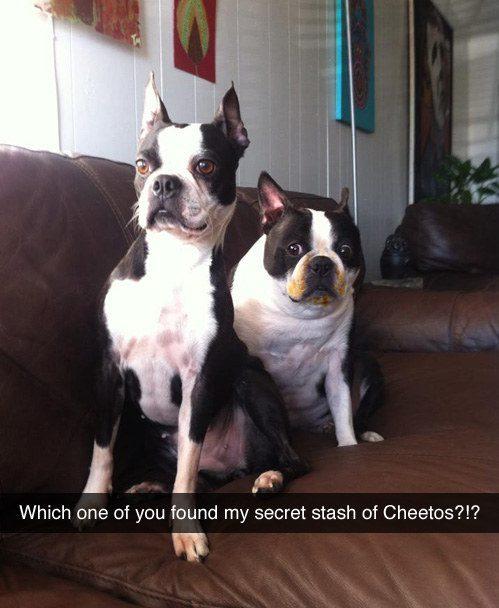 Cachorro que definitivamente não comeu o pacote de Cheetos que estava escondido.