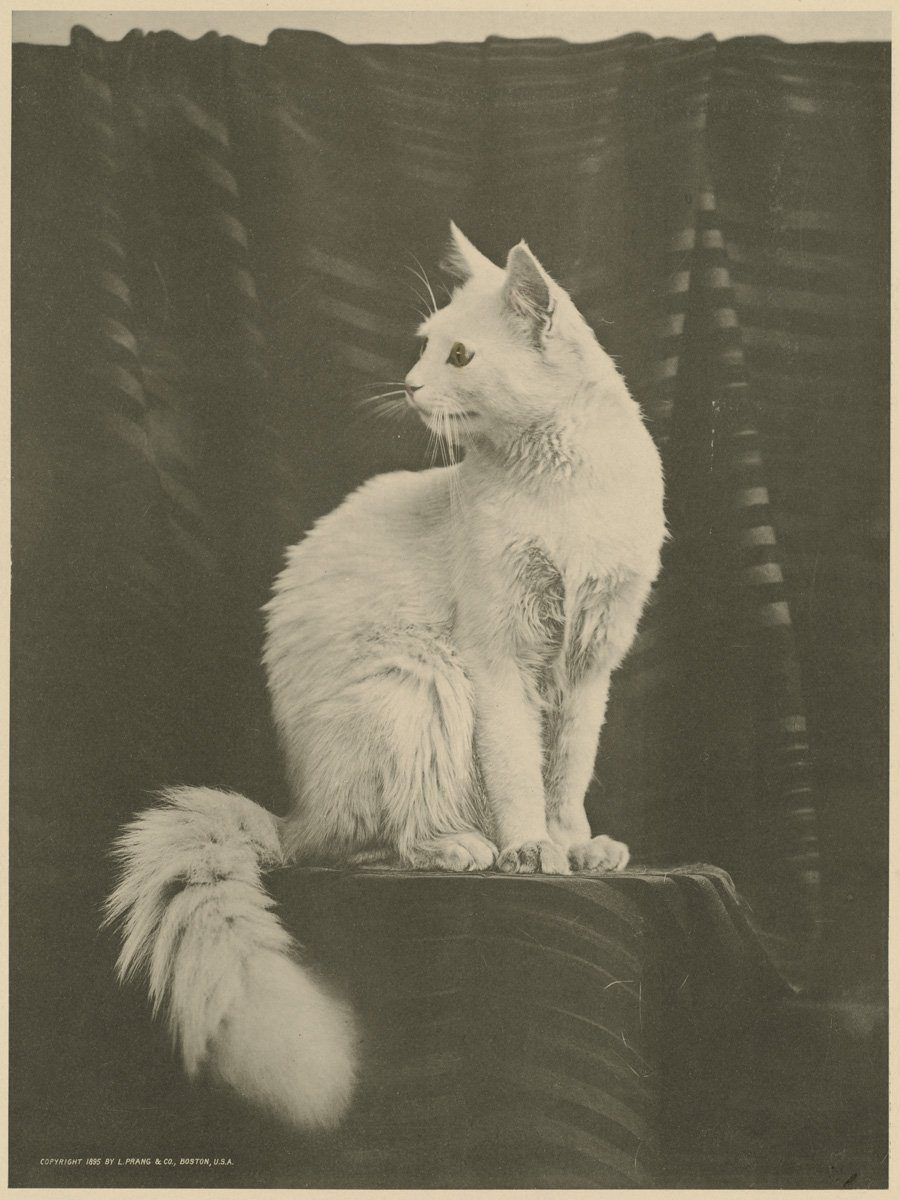 White_cat_by_Boston_Public_Library 1895
