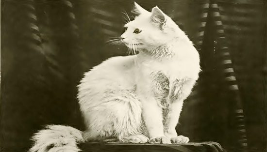 White cat by Boston Public Library 18951