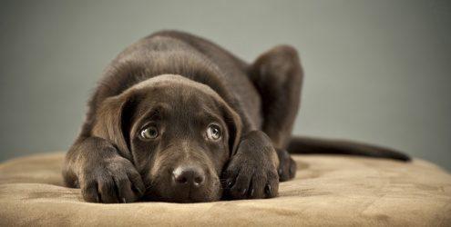 cachorro triste em cassa 15847