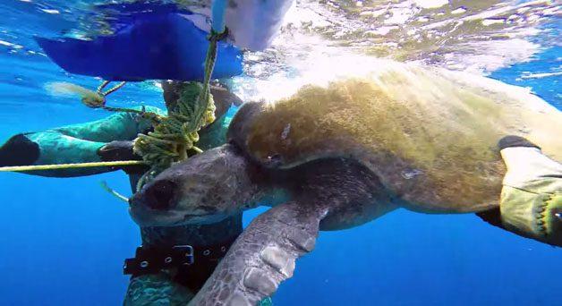 tartaruga-mergulhador5