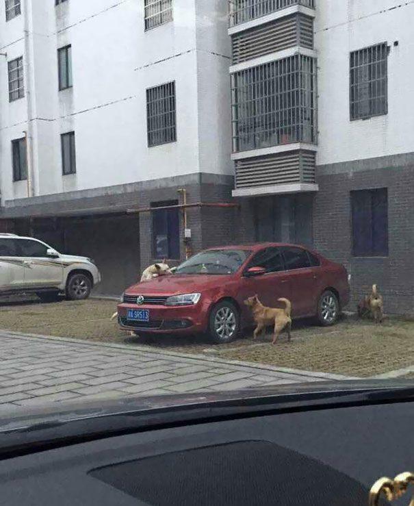 cachorro-gangue-carro-3