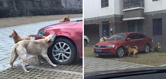 cachorro gangue carro