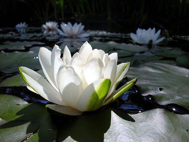 flor-de-lotus-branca