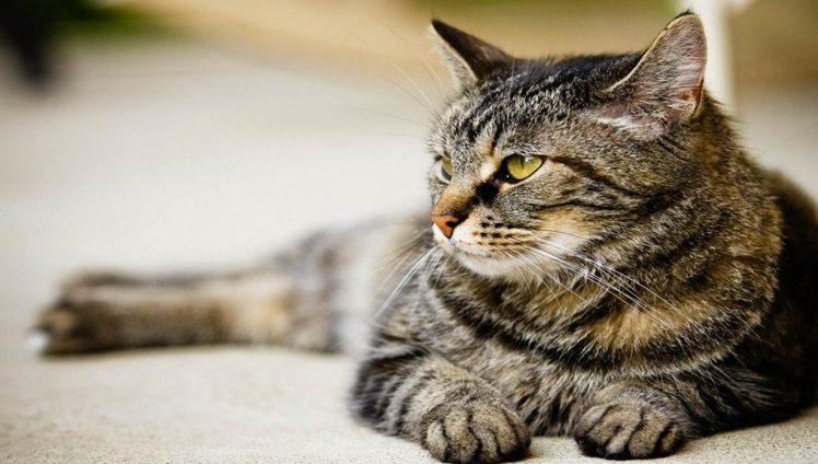 Pet Cat 933191