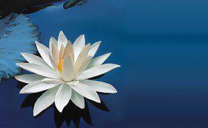 flor de lótus2