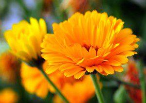 5 remédios à base de plantas que curam de forma6