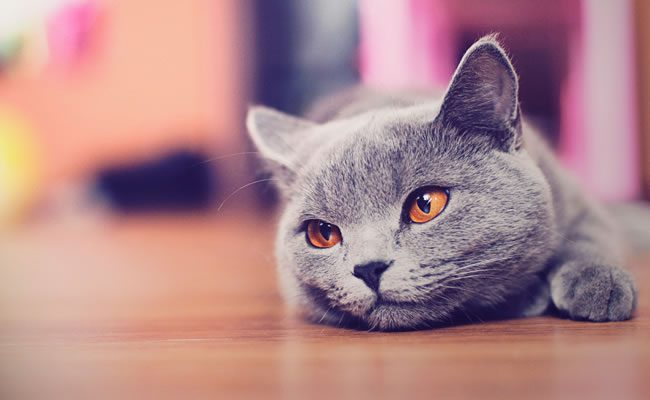 as 10 razões principais para manter o seu gato