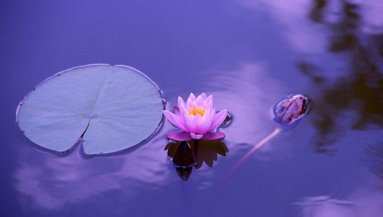 Lotus para Alquimia da Vida