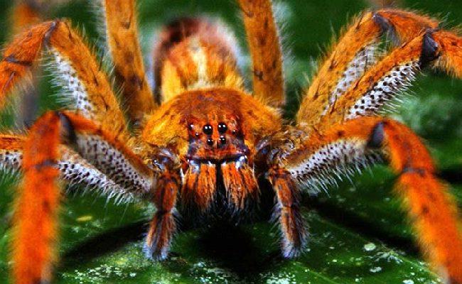 se você vê aranhas