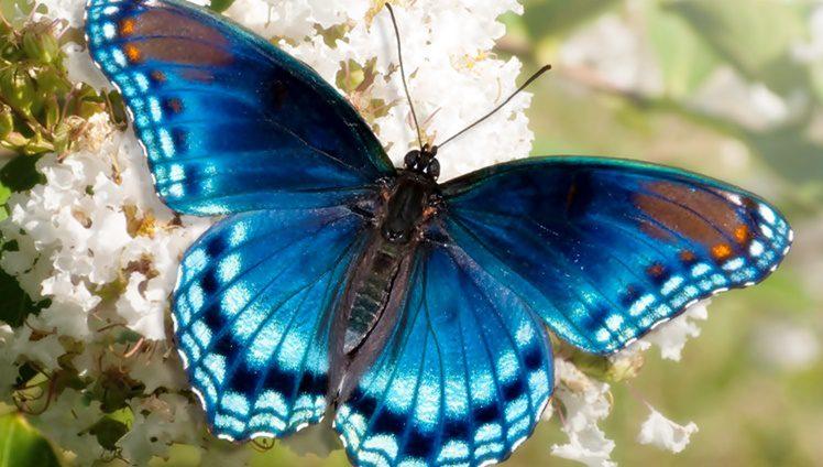 butterfly spirit animal