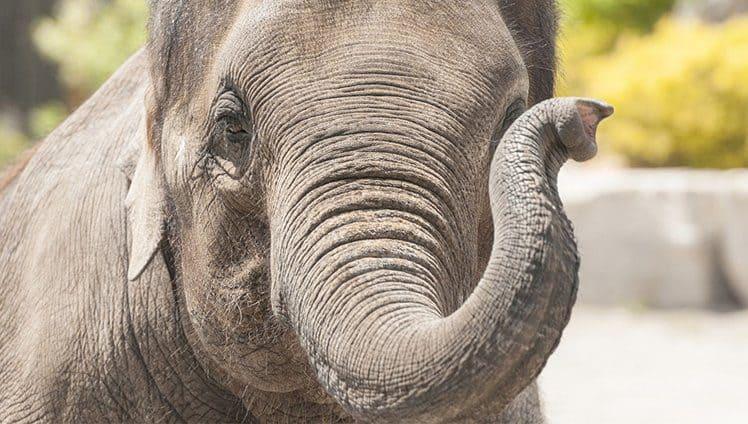 O que podemos aprender com um velho elefante de circo