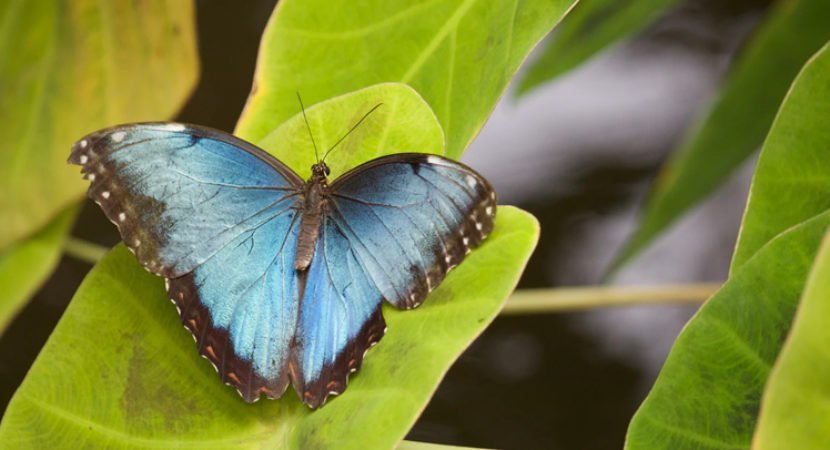 lenda da borboleta azul