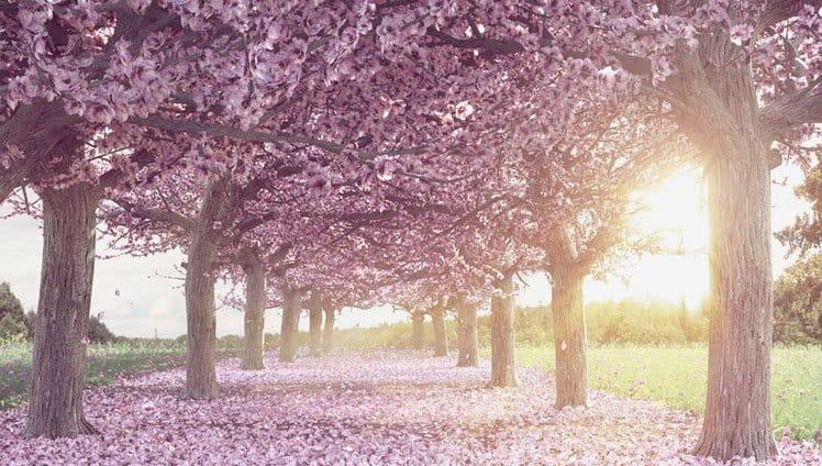 Sakura, a lenda japonesa