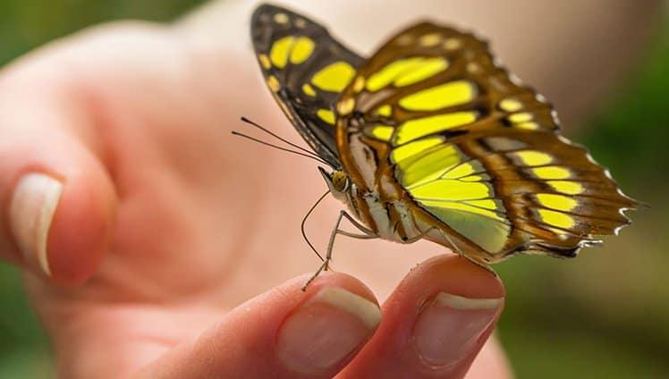 Quando a borboleta rompe