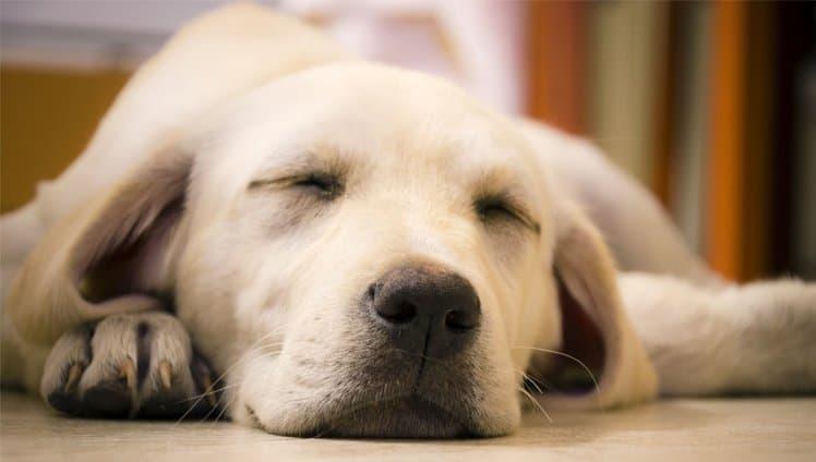 os cães sonham com seus
