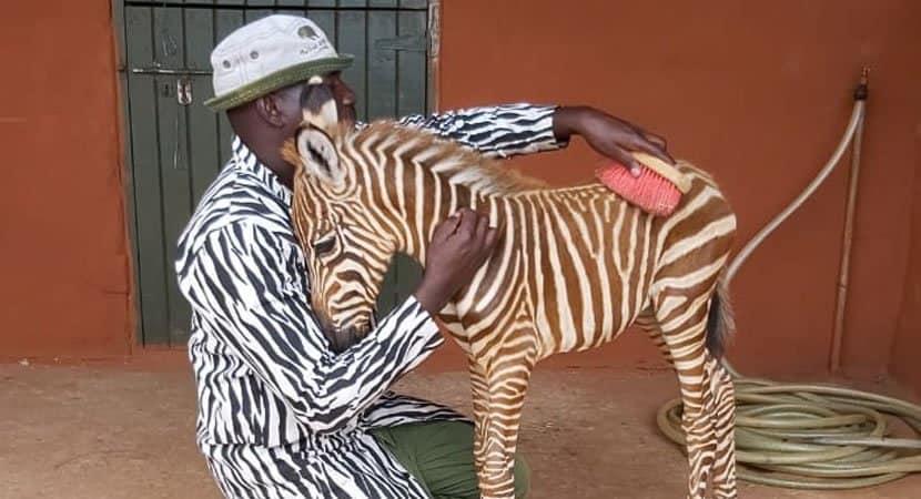 Fofura bebê zebra que perdeu a mãe é consolado por cuidador vestido de listrado