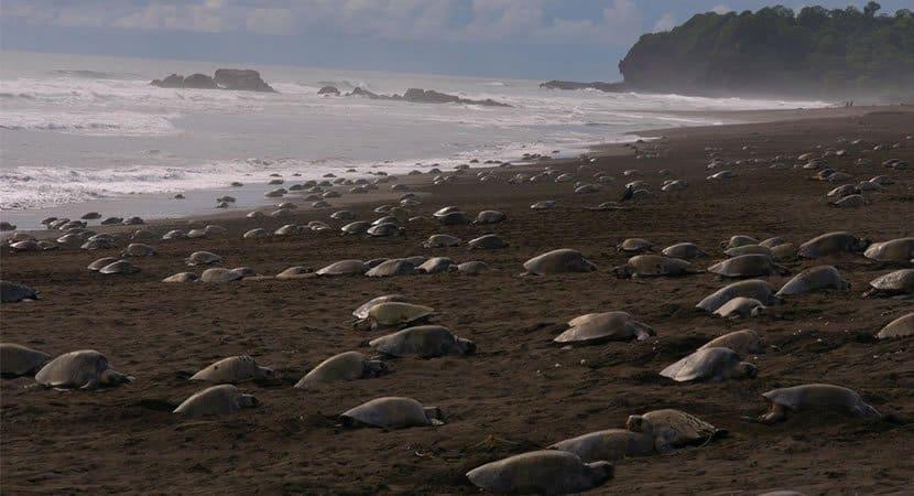 Sem turistas ilhas são o cenário ideal para os ninhos de centenas de tartarugas