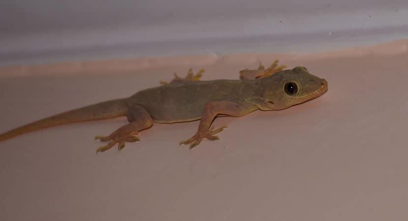 lagartixas têm aparecido