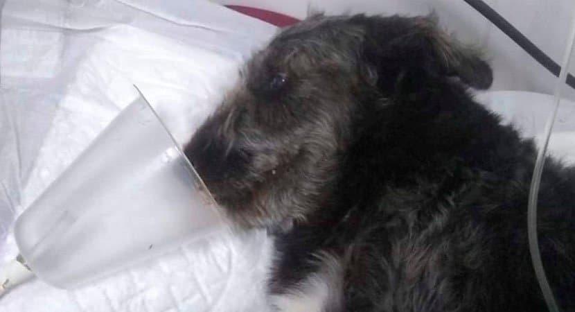 Cão herói impede que menina de 12 anos fosse atacada por jararaca