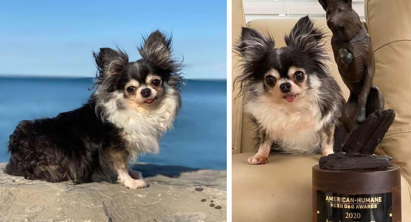 capacadelinha chihuahua é eleita cão do ano por ajudar animais resgatados É muito amor