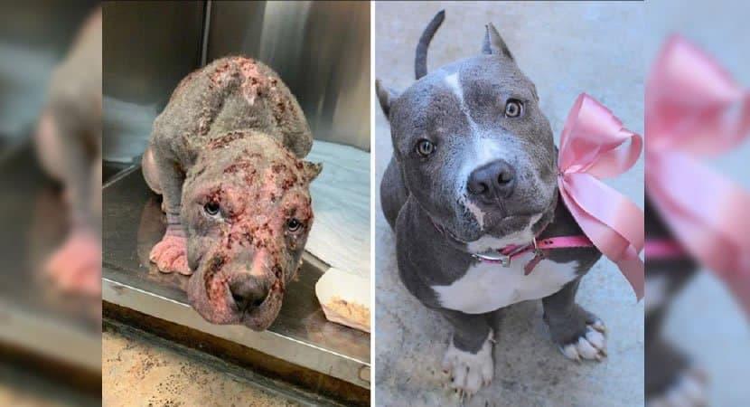 capaabrigos mostram o antes e depois de cães resgatados nas ruas o amor faz a diferença