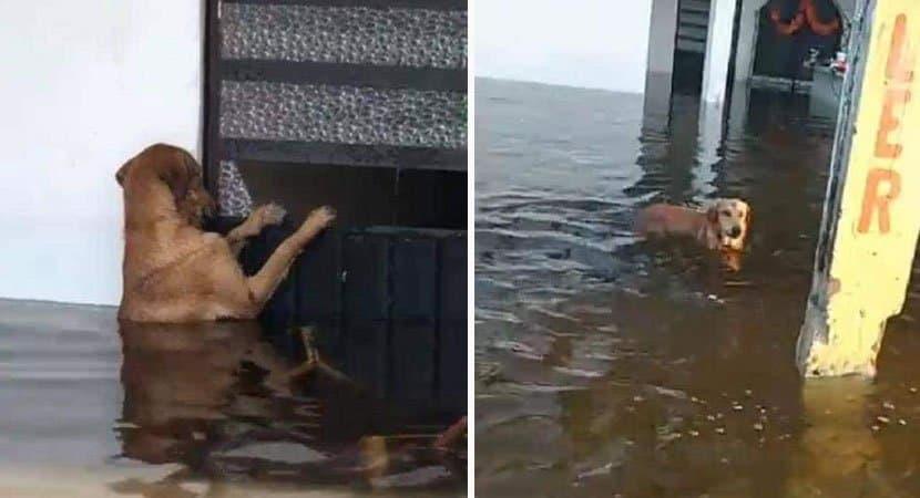 capacão abandonado volta para sua casa inundada na esperança de encontrar seus donos